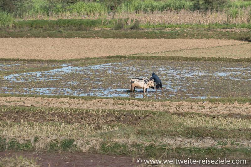 Zebus im Reisfeld bei der Landarbeit, Madagaskar Zentrum
