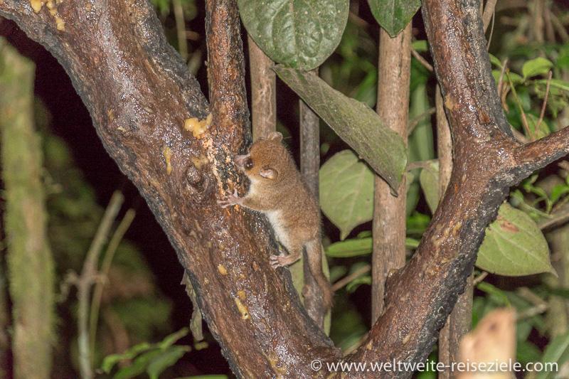 Mausmaki bei der Nachtwanderung, Ranomafana Nationalpark