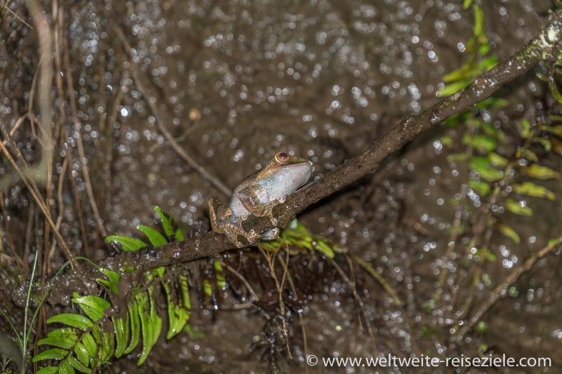 Baumfrosch, Ranomafana Nationalpark