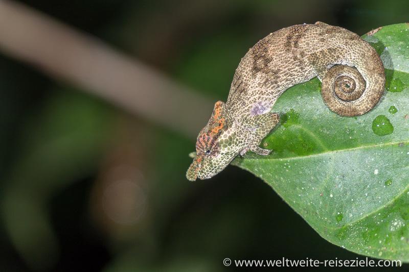 kleines graubraunes Chamäleon auf einem Blatt, Madagaskar