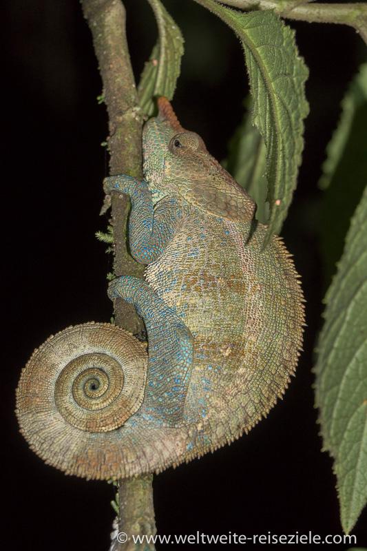 Braun, blaues Chamäleon auf einem Ast, Nachtwanderung Ranomafana Nationalpark