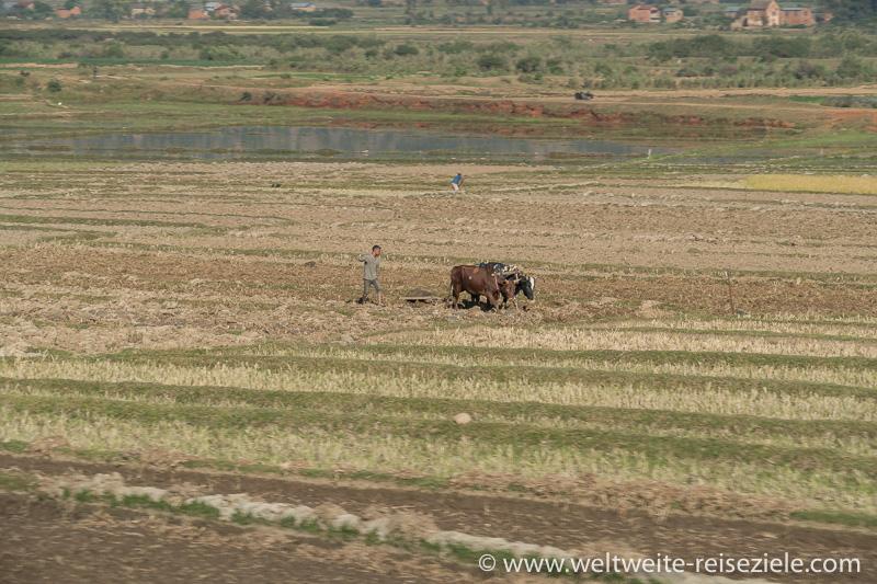 Zebus beim Umackern im Reisfeld, Strasse Antsirabe nach Ambositra