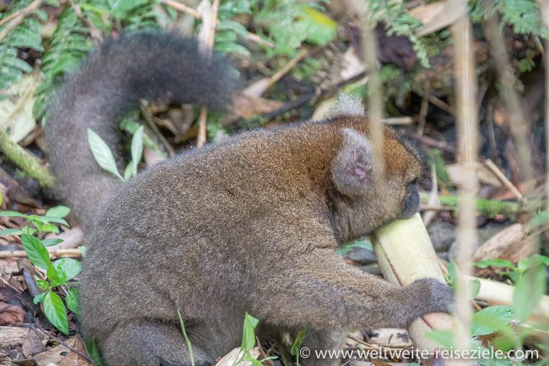 Grosser Bambuslemur (Prolemur simus) frisst Bambus, Nationalpark Ranomafana
