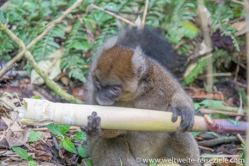 Grosser Bambuslemur (Prolemur simus) frisst Bambussprosse