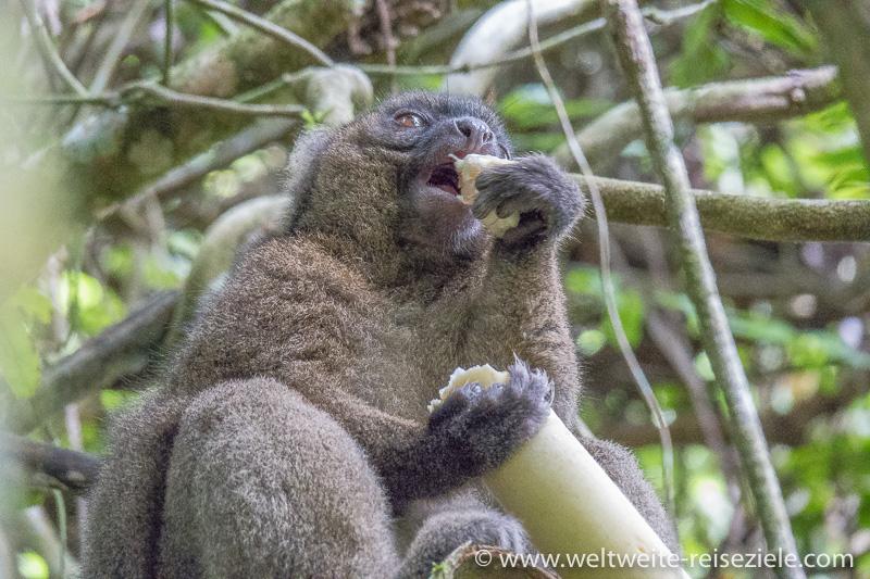 Grosser Bambuslemur (Prolemur simus) frisst Bambus mit der Hand, Nationalpark Ranomafana