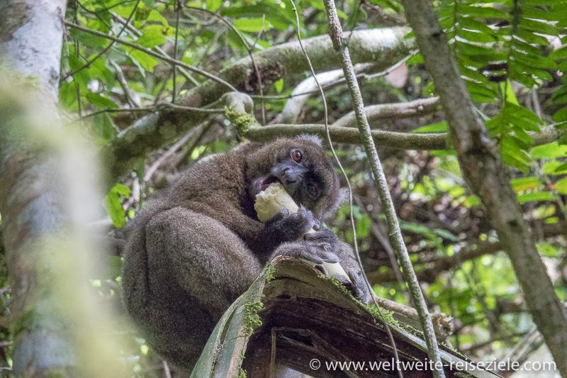 Grosser Bambuslemur (Prolemur simus) beim Fressen, Nationalpark Ranomafana