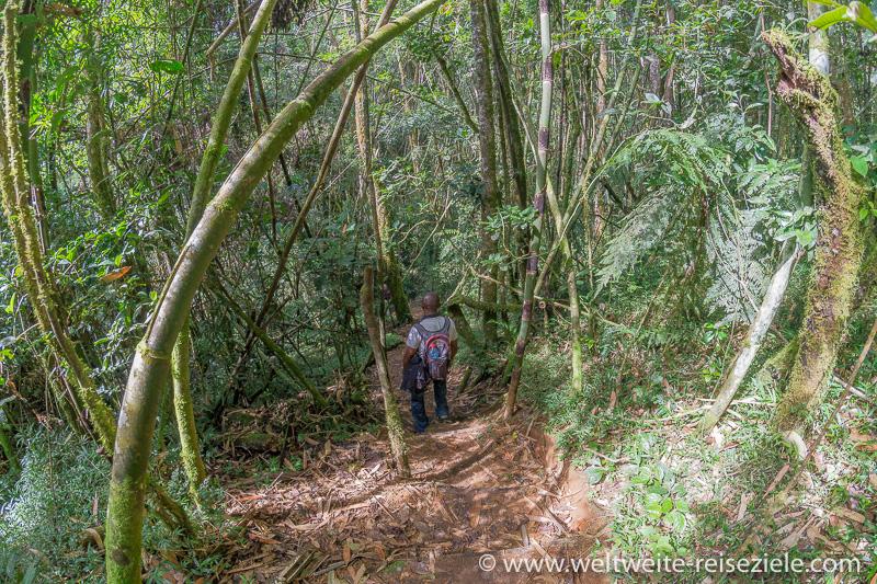 Wir wandern bergab durch den Bambuswald, Ranomafana Nationalpark