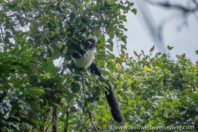 Schwarzweisser Vari (Varecia variegata) Ranomafana Nationalpark