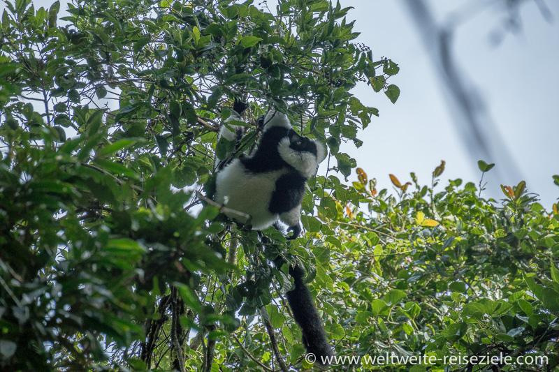 In den Baumwipfeln turnt ein Schwarzweisser Vari Madagaskar