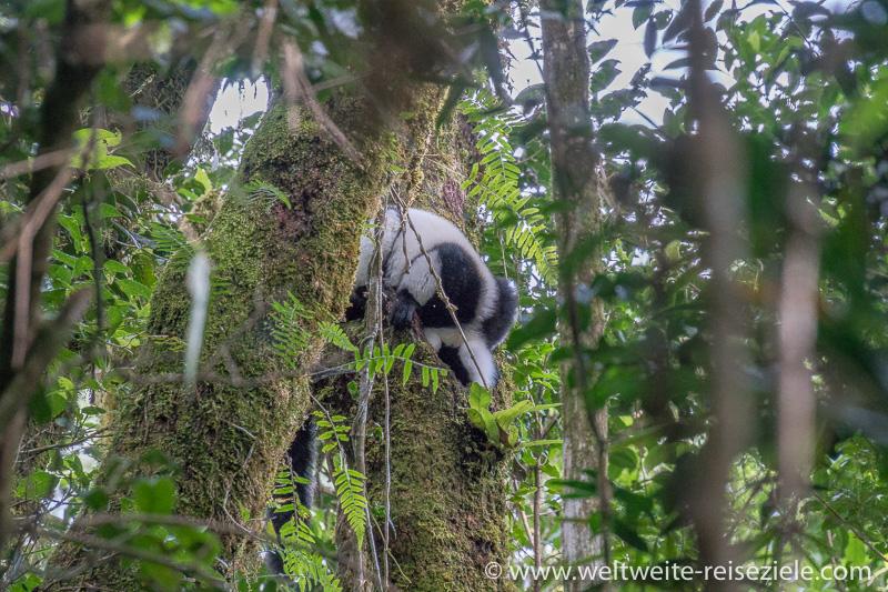 Schwarzweisser Vari trinkt aus einer Baumhöhle Ranomafana Nationalpark