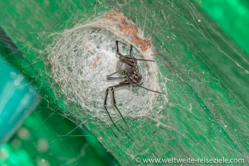 Grosse schwarze Spinne, Madagaskar, Ranomafana