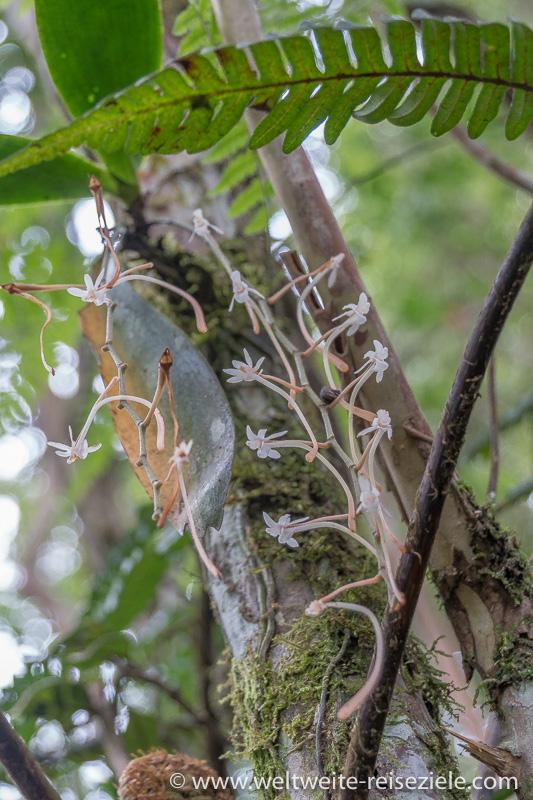 Weisse Orchidee im Wald, Ranomafana
