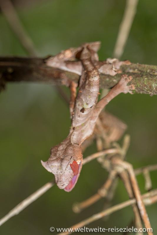 Gespenst-Blattschwanz Gecko schleckt mit seiner roten Zunge über das Auge, Ranomafana Nationalpark