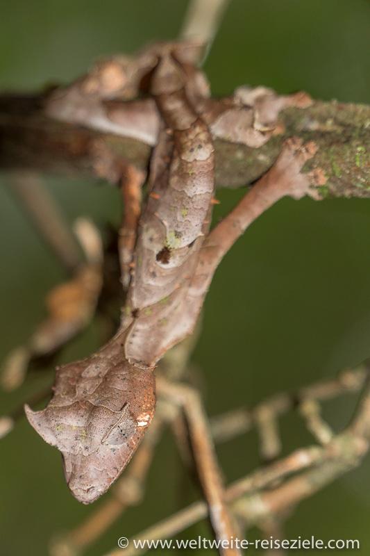 Gespenst-Blattschwanz Gecko Uroplatus phantasticus, Ranomafana Nationalpark