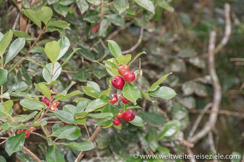 Rote Früchte an der Staude vom wilden Kaffee