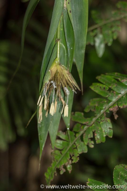 Gelblich weiss blühende Orchidee, Ranomafana Nationalpark