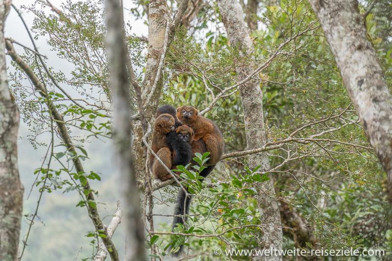 Drei Rotbauchmakis (Eulemur rubriventer) , Männchen, Ranomafana Nationalpark
