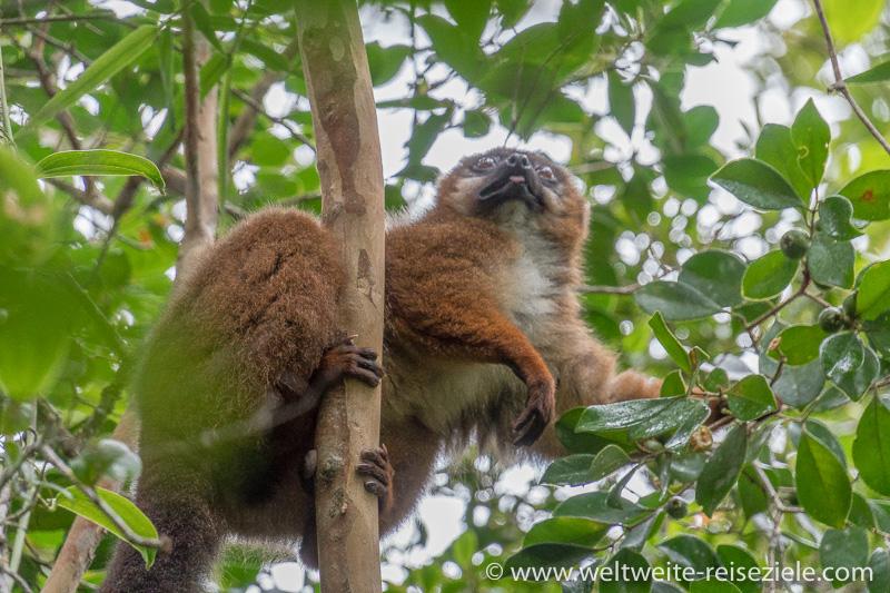 Rotbauchmaki (Eulemur rubriventer) Weibchen frisst Früchte, Ranomafana Nationalpark