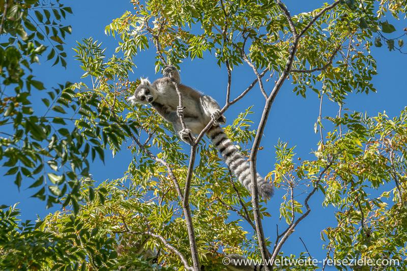 Ringelschwanz Lemur, auf einem Baum, Anja Reservat
