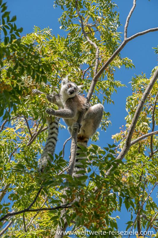 Katta (Lemur catta) frisst gelbe Früchte, Anja Reservat