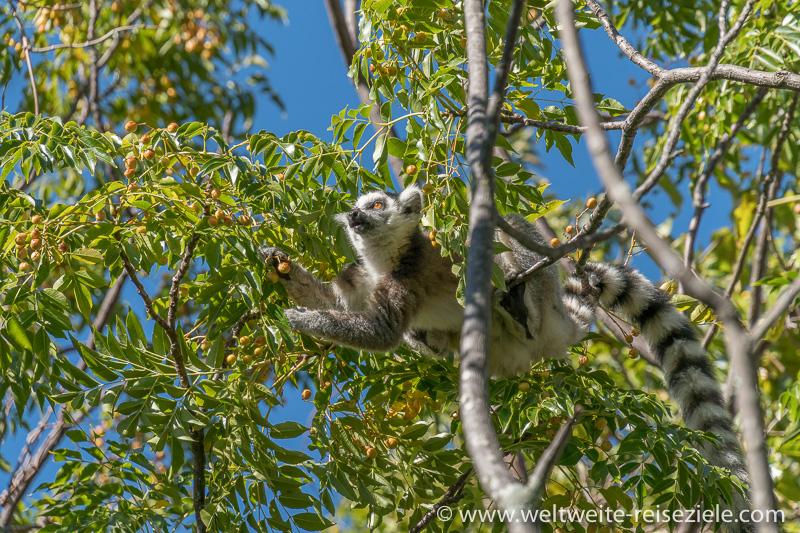 Ringelschwanzmaki, Katta (Lemur catta) frisst gelbe Früchte, Reservat Anja