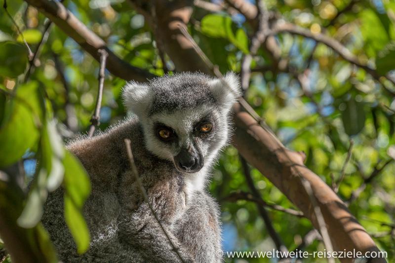 Ringelschwanz Lemur, Katta (Lemur catta) Nahaufnahme Kopf-Schultern, Reservat Anja