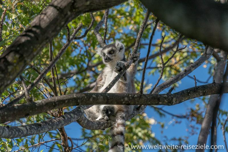 Katta beim Sonnen in den Ästen, Park von Anja, Madagaskar