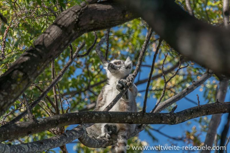 Sich sonnender Ringelschwanz Lemur (Lemur catta), Anja Reservat