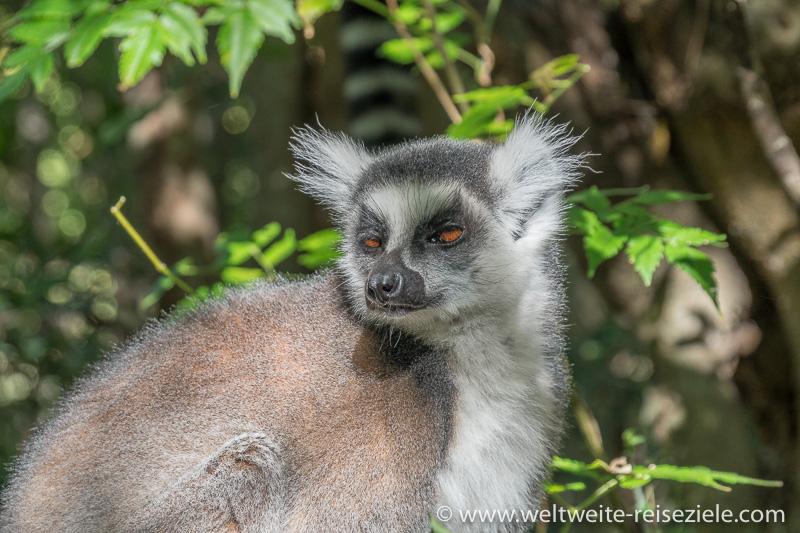 Katta (Lemur catta) aus der Nähe, Anja Reservat