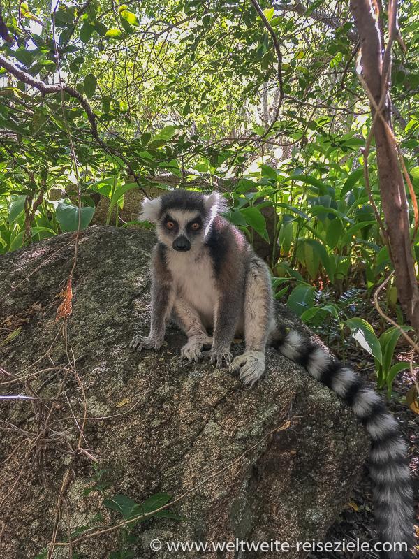 Ringelschwanzmaki (Lemur catta) sitzt auf einem Stein, Anja Reservat