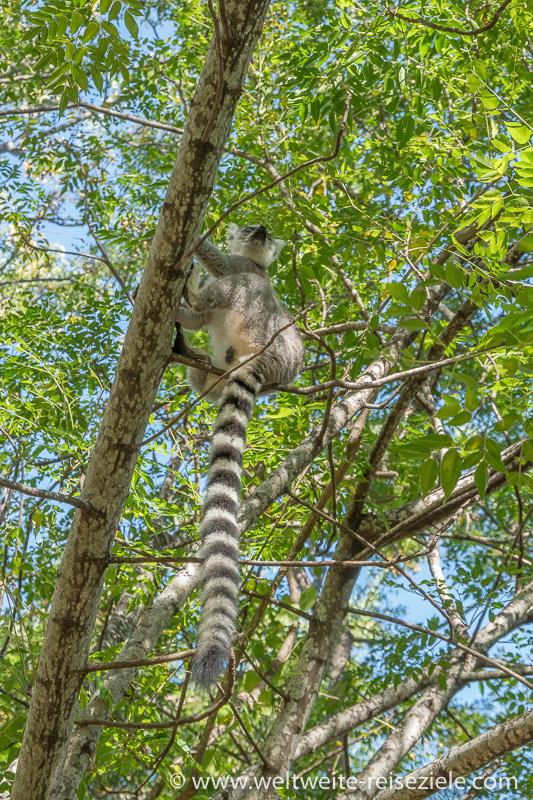 Ringelschwanz Lemur mit langem Schwanz sitzt im grünen Baum, Anja Reservat