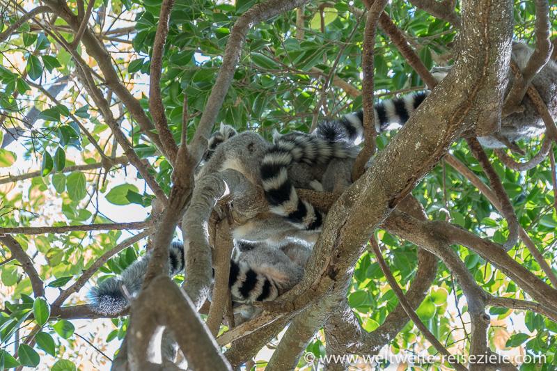 Ringelschwanz Lemuren Versammlung auf einem Baum, Reservat von Anja