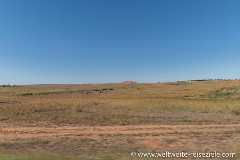 Mit Gras bestandene Hochebene mit ein paar Zebus, zwischen Ihosy und Ranohira