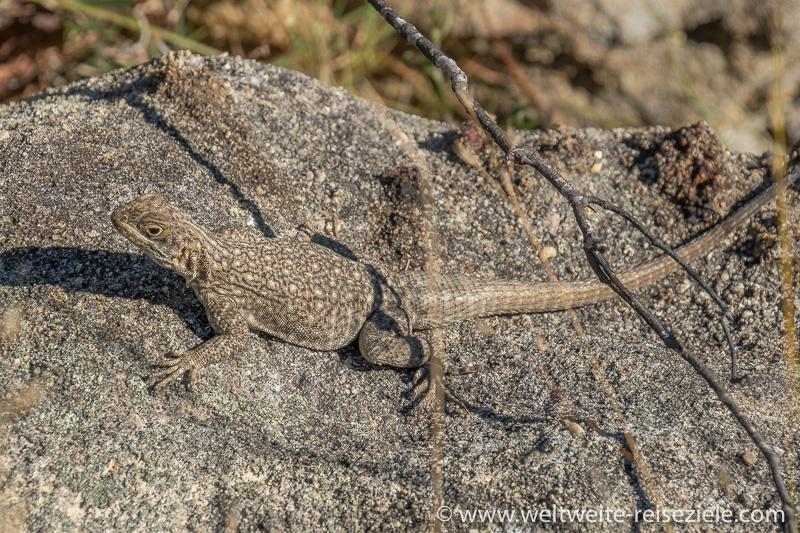 Echse Madagaskar Leguan