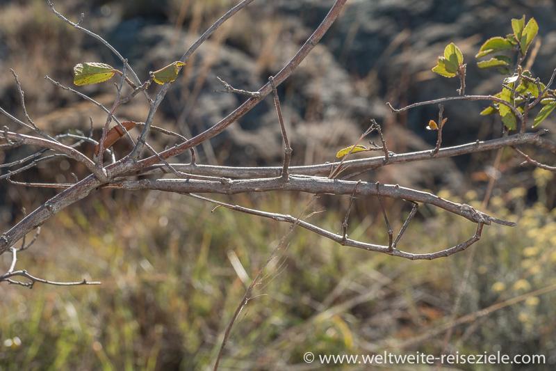 Grosses Stabschrecken Paar, Art Achrioptera Impennis