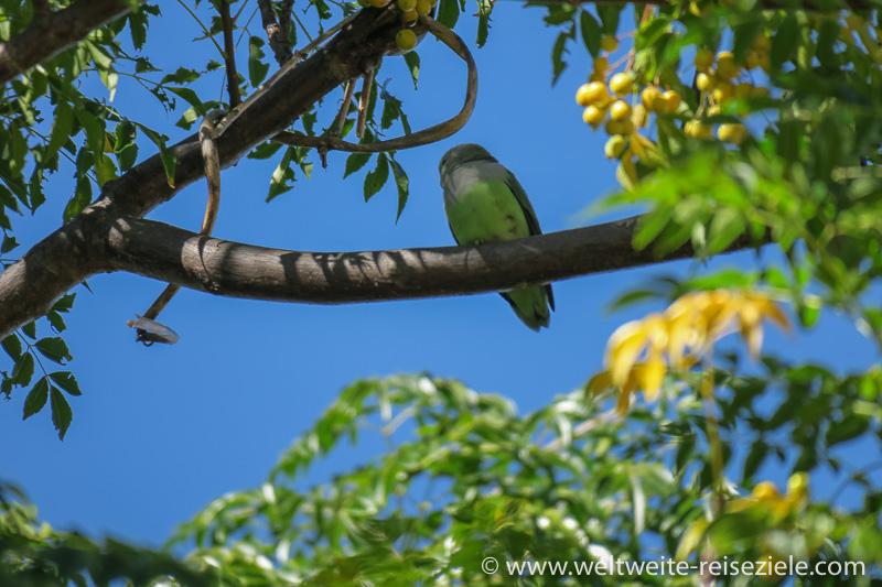 Papagei, Grauköpfchen (Agapornis canus)