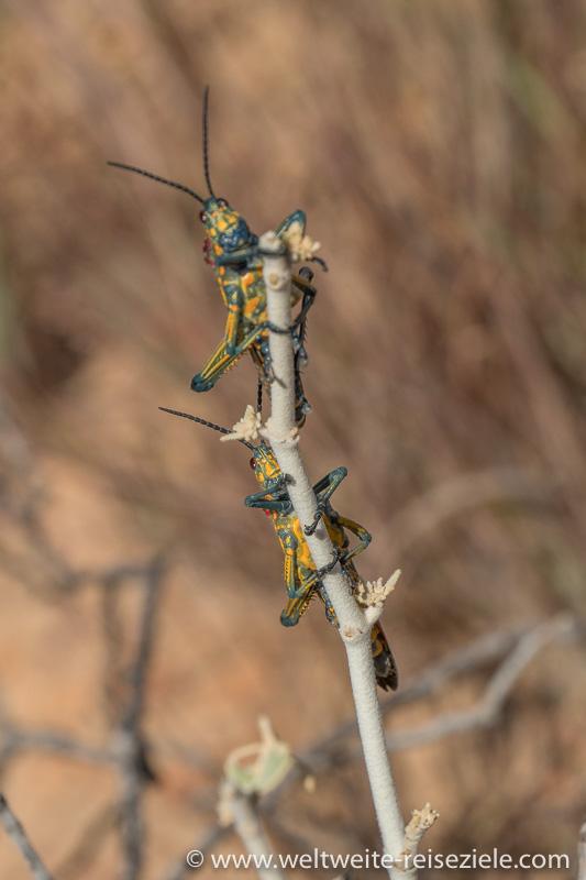 Gelb, grün, blau, rote Madagaskar Heuschrecke, Phymateus Saxosus