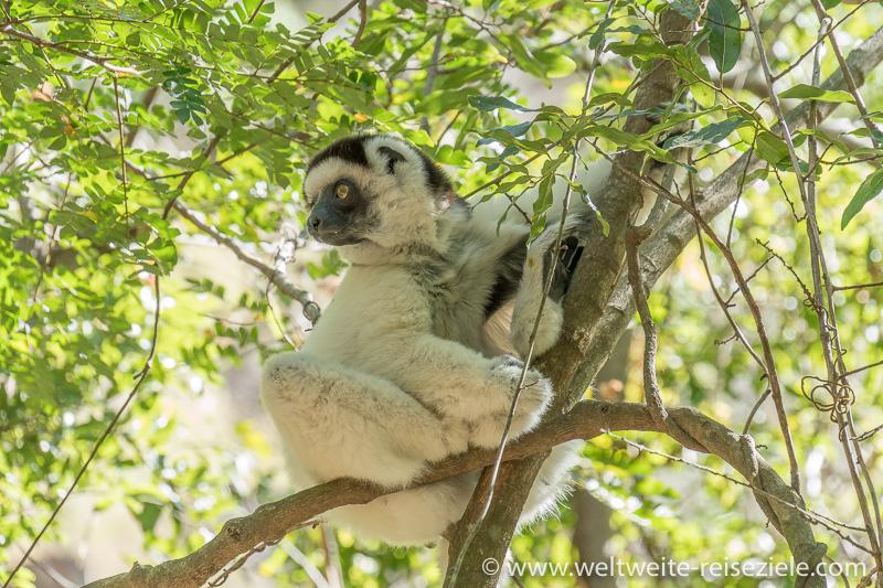 Weiss schwarzer Lemur, Lavensifaka, (Propithecus verreauxi), Madagaskar