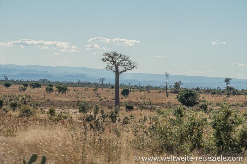 Trockene Ebene mit Baobabs, Landschaft zwischen Ranohira und Toliara