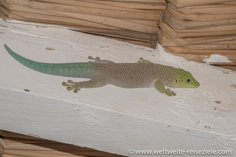 Madagaskar Taggecko, Mangily