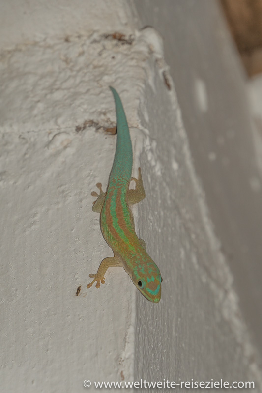 Grün brauner Gecko, Madagaskar