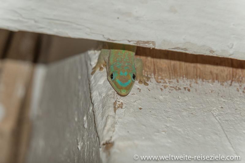 Nahaufnahme, Grün brauner Gecko, Madagaskar