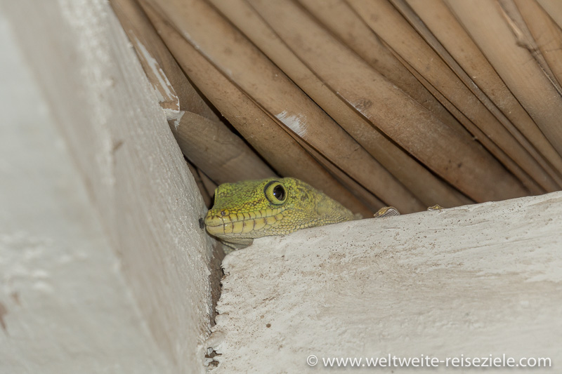 Kopf vom Madagaskar Taggecko