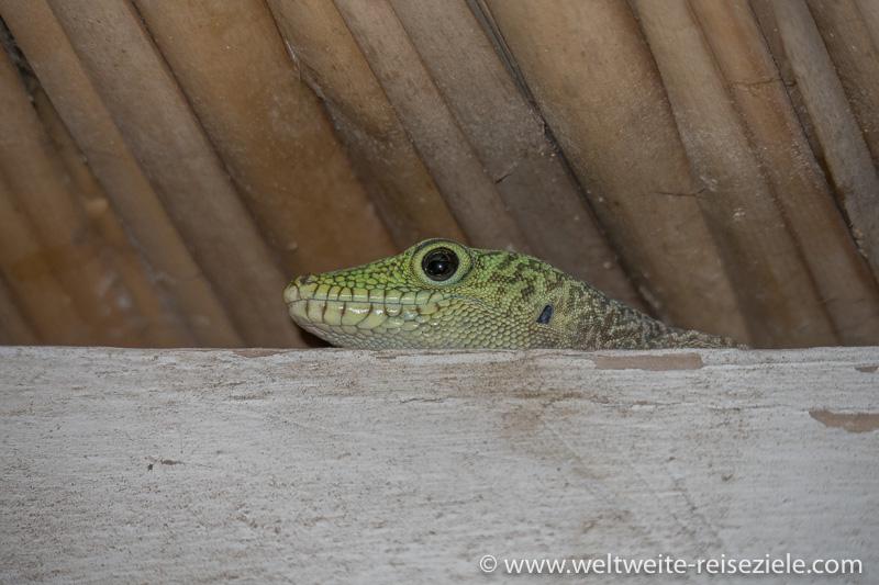 Madagaskar Taggecko, Nahaufnahme vom grünen Kopf
