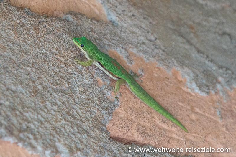 Grüner tagaktiver Gecko, Madagaskar.