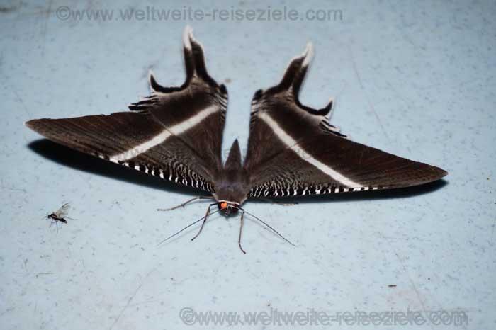Grosser Nachtfalter, grau weiss aus Malaysia