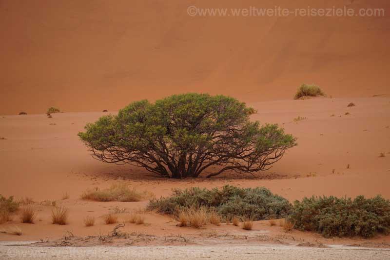 Baum wird von einen Düne verschüttet, Weg zum Big Daddy, Sossus Vlei
