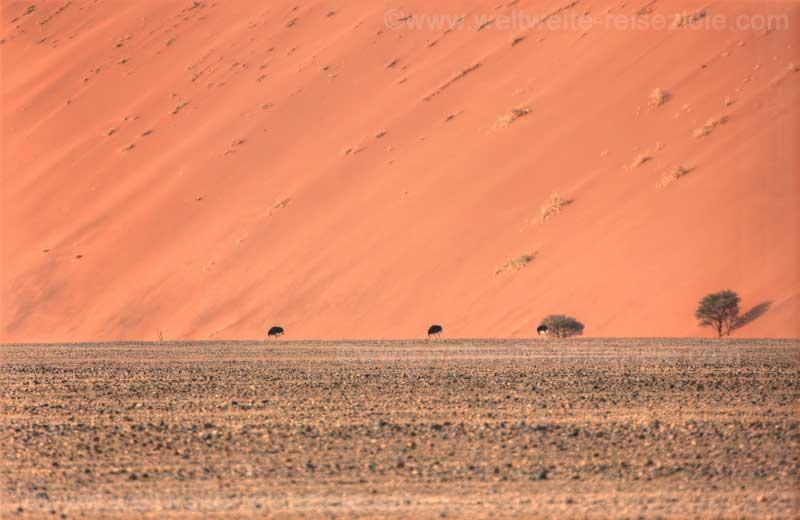 Vogel Strauss vor roter Düne, Sossusvlei, Namibia.