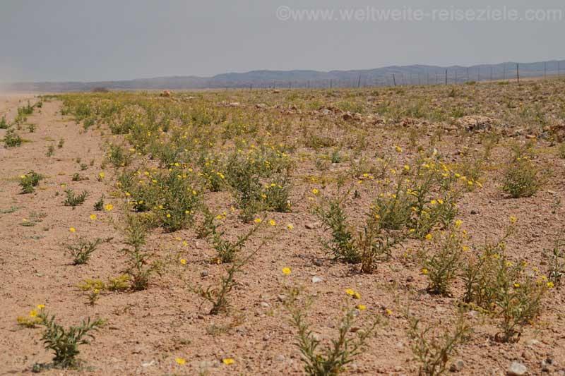 Gelbe Blumen in der Namib Wüste, zwischen Gaub Canyon und Kuiseb Canyon.