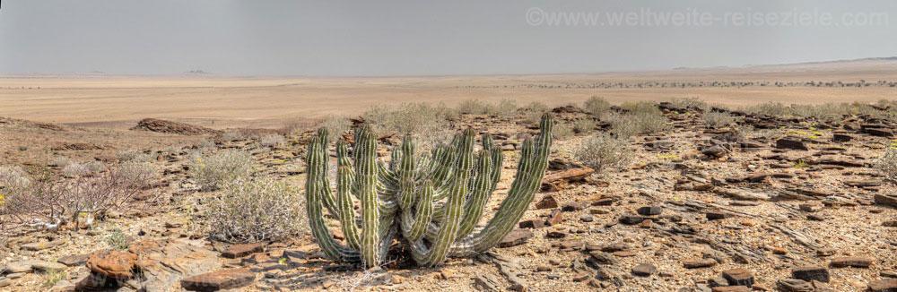 Kaktus in der Namibwüste, Blick auf das flache Land der Namib.